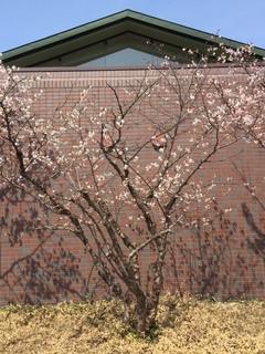 天神山の桜.JPG