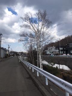 西岡のシラカバ.JPG