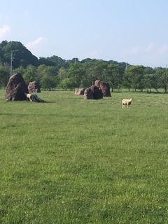 花の牧場の羊.JPG